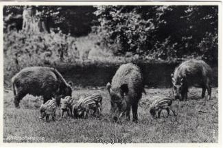 4010A-Saupark284-Wildschweine-1937-Scan-Vorderseite.jpg