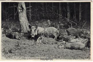 4030A-Saupark285-Wildschweine-Scan-Vorderseite.jpg