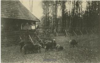 4040A-Saupark146-Wildschweine-1916-Scan-Vorderseite.jpg