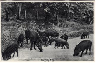 4090A-Saupark290-Wildschweine-1935-Scan-Vorderseite.jpg