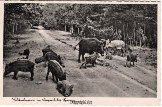4120A-Saupark293-Wildschweine-Scan-Vorderseite.jpg