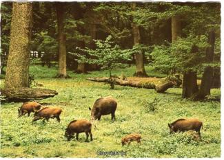 4250A-Saupark296-Wildschweine-Scan-Vorderseite.jpg