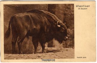 4410A-Saupark298-Wisente-1929-Scan-Vorderseite.jpg